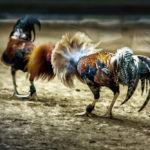 Judi Sabung Ayam Aman