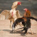 Kalah Main Judi Sabung Ayam