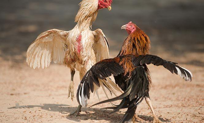 Kesalahan Pemain Yang Membuat Kalah Main Judi Sabung Ayam