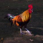 Tips Untuk Menghemat Uang Dalam Permainan Sabung Ayam